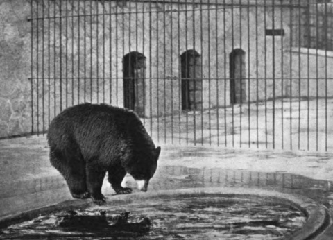 """Psyche."" That was the bried caption under this photo in the 1899 annual report of the Minneapolis Board of Park Commissioners. I assume it was the bear's name."
