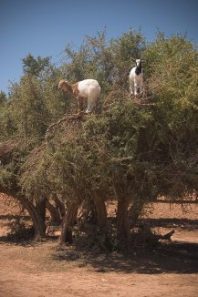800px-Goats_on_an_Argan_(Argania_spinosa)_tree_in_Morocco